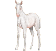 Arabian Horse breed horse for sale