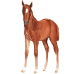 Arabian Horse ##STADE## - coat 77
