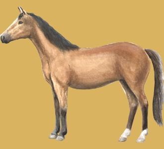 Hanoverian Horse ##STADE## - coat 20
