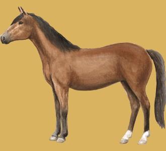 Hanoverian Horse ##STADE## - coat 76