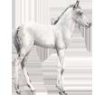 Connemara Pony ##STADE## - coat 52